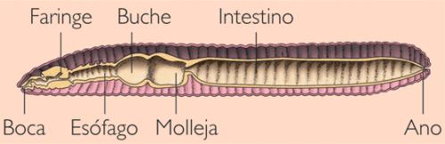 Aparato digestivo de lalombriz de tierra